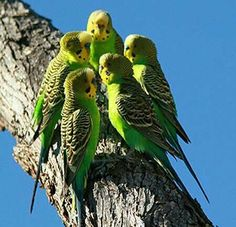Wild group of budgerigars in Australia. The budgerigar, also known as common pet parakeet or shell parakeet and informally nicknamed the budgie, is a small, long-tailed, seed-eating parrot. Photo from www. Cute Birds, Pretty Birds, Beautiful Birds, Animals Beautiful, Cute Animals, Wild Budgies, Parakeets, Australian Parrots, Australian Bush