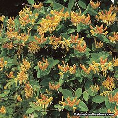 This gorgeous Honeysuckle's showy, orange-pink blooms with yellow throats will attract beautiful hummingbirds to your garden. Mandarin blooms from summer into fall, when much of the garden has finished for the season. PP