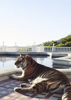 #tiger #relaxing #sky