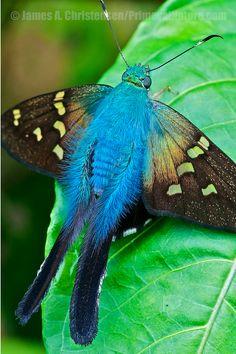 Long Tail Skipper Moth ~ Urbanus Proteus