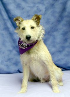 Charlie Terrier Mix • Young • Male • Large Cass County Animal Control Cassopolis, MI  7 months old. http://www.petfinder.com/petdetail/27638430/