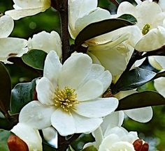 Imagine a evergreen shrub with a profusion of brown velvety buds that open to creamy-white scented flowers. Evergreen Shrubs, Warm Fuzzies, Hedges, Outdoor Ideas, Farms, Magnolia, Lust, Flowers, Plants