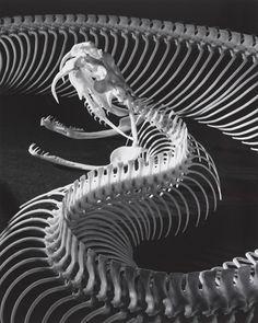 The Skeleton of a Gaboon Viper Andreas Feininger 1952.