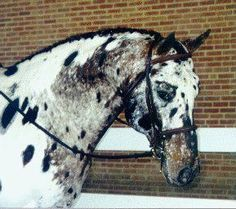 Appaloosa Sport Horse Most Beautiful Horses, Pretty Horses, Horse Love, Horse Markings, Appaloosa Horses, Cute Baby Animals, Horse Breeds, Horse Pictures, Zebras