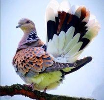 The European turtle dove is a member of the bird family Columbidae, the doves and pigeons. Kinds Of Birds, All Birds, Cute Birds, Pretty Birds, Beautiful Birds, Animals Beautiful, Animals Amazing, Angry Birds, Beautiful Life