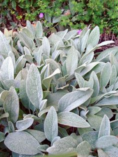 Stachys byzantina - Lamb's Ear always loved these as a border plant and the soft texture....any kid would love