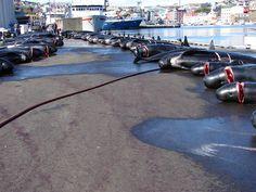 Noticias de ecologia y medio ambiente   La sangrienta excusa de la caza de ballenas