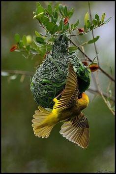 peeblespair:touchn2btouched: Weaver bird. http://m.flickr.com/#/photos/frik_erasmus/8346498860/