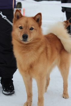 24 Finnish Spitz Dog Breed The Finnish Spitz is thought to be especially good on feathered game too. Spitz Dog Breeds, Spitz Dogs, Spitz Puppy, Funny Animals, Cute Animals, Dog Breeds List, Blue Merle, Wild Dogs, Shiba Inu