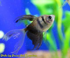 longfin tetra fish