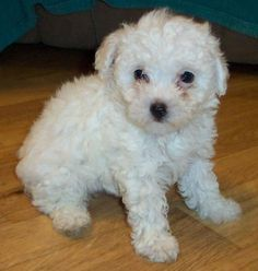 White Poodle Puppies .