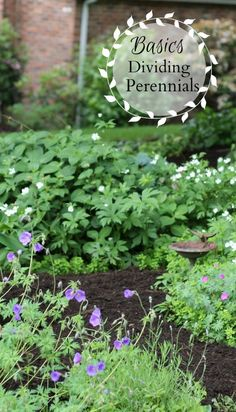 Dividing perennials is an easy and worthwhile task. Learn when and how and why you should divide perennials in your garden. ~gardenmatter.com