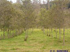 Alnus acuminata (aliso)