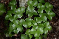 Sinivuokko Spinach, Succulents, Vegetables, Plants, Succulent Plants, Vegetable Recipes, Plant, Veggies, Planets