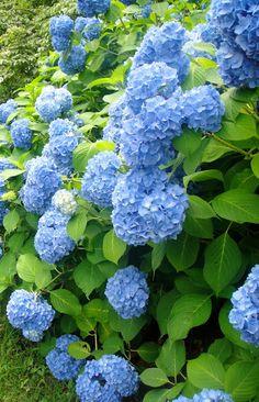 Blue hydrangeas..,, takes me back to Georgia!