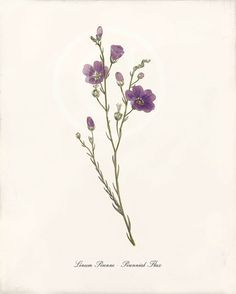 Linum Perenne - Perennial Flax More botanical prints can be found here: http://www.etsy.com/shop/1001treasures?section_id=7983679 My whole