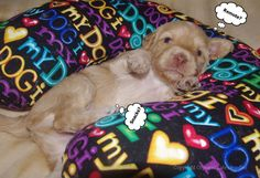 Let's get Comfy!    (3 week Australian Labradoodle Puppy)
