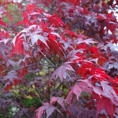 Japanese Maple varieties (Acer palmatum) with intensely coloured & beautifully shaped foliage. Young & mature sizes available for UK wide delivery. Acer Palmatum, Japanese Maple Varieties, Bloodgood Japanese Maple, Acer Trees, Zen Garden Design, Tree Pruning, Maple Tree, How To Grow Taller, Small Trees