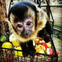 Baby capuchin monkey at hunter valley zoo