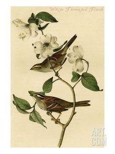 White Throated Finch Art Print by John James Audubon at Art.com