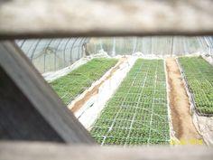 pepper. seedling.