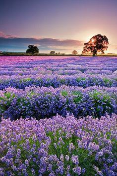 Lavender Field in France フランスでラベンダーフィールド
