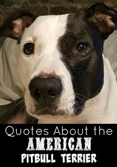 Pitbulls inspire so many wonderful words of wisdom!. Check out our favorite Quotes about the American Pitbull Terrier!