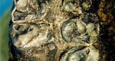 A mandíbula fossilizada de um primata minúsculo, que viveu há cerca de 35 milhões de anos na Ásia foi descoberto em minas de carvão tailandesas.