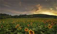 Sunflower field on the European country side