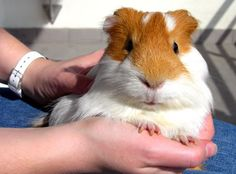 Holding a large guinea pig