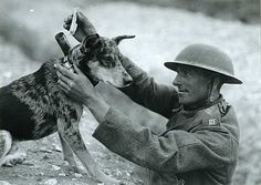 Australian blue heeler as a war-time messenger...these dogs are brilliant with endurance like I've never seen.