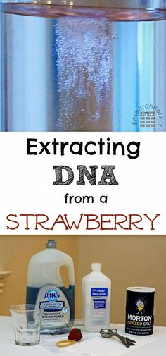 Extract DNA from a strawberry in your kitchen! This fun, easy, science activity for kids uses only common household items and takes about 10 minutes. Full step-by-step picture tutorial included. via science Extracting DNA from a Strawberry Science Projects For Kids, Science Activities For Kids, Science Classroom, Teaching Science, Stem Activities, Chemistry Science Fair Projects, Science With Kids, Secret Agent Activities For Kids, Biology For Kids
