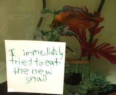 Betta shaming is now a thing. Which is so dumb. but they do eat snails 😂 almost lost one to my little aggressor, but he's still happy in his tank all alone with plenty to swim and hide around Funny Dogs, Funny Animals, Cute Animals, Animal Jokes, Betta Fish Tank, Beta Fish, Fish Tanks, Happy Facts, Fishing For Beginners