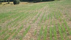 Direct sowing may minimize inputs and allow higher emissions savings when comparing solid or liquid biofuel performance with the fossil current alternative. Photo: switchgrass direct sowing trials in Valencia (Spain). 2010