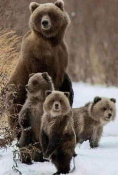 Grizzly Bear Cub, Bear Cubs, Animals And Pets, Baby Animals, Cute Animals, Wild Animals, Majestic Animals, Animals Beautiful, Beautiful Birds