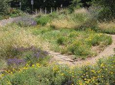 california native plants - Google Search
