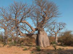 File:BaobabElephantBandia.JPG