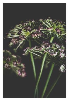 """Shop our original botanical photographs that make for unique wall art to compliment your home or office decor. They also make for a one-of-a-kind gift. You can find """"Queen Anne's Lace"""" (along with many other flowers) in our Etsy Shop currently offered in the following sizes: 5x7, 8x10, and 11x14."""