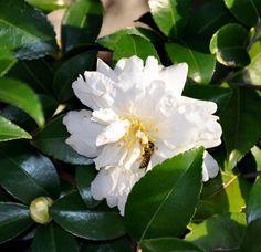 , begin blooming in October. Garden Photos, Camellia, October, Bloom, Plants, Planters, Plant, Planting
