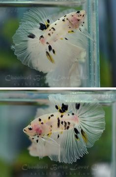 ace of spades beta fish