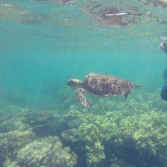 Svømmede rundt med en sød skildpadde i dag ude i Great Barrier Reef  #cairns #greatbarrierreef #australia #exploring #seaturtle #fish #exploring #beautiful #travelgram #sun #summer #loveit #traveling #snorkling #nature by juliejohannejakobsen http://ift.tt/1UokkV2