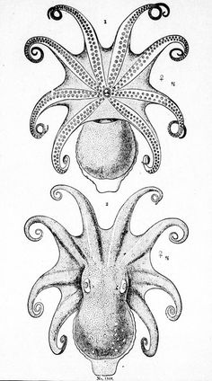 Octopus lentus 2. The same specimen. Dorsal view 'Report on the cephalopods of the northeastern coast of America' by A.E. Verrill.Published 1882