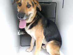 This DOG - ID#A467420 - URGENT - Harris County Animal Shelter in Houston, Texas…