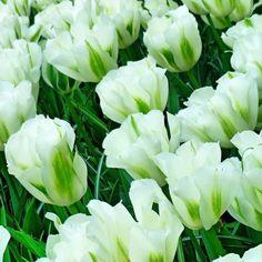 Гармония белого и зелёного. Виват селекционерам!  White and green in harmony. Viva plant breeders!  #netherlands #Holland #Keukenhof  #instanetherlands  #wonderful_holland  #ig_discover_holland #loves_netherlands #holland_photolovers #super_holland #igerholland #awesomepix #ig_europe #igmasters  #instatravel #thisisholland #tulips #beauty #keukenhof2016 #visitkeukenhof #flowerstagram  #flowerslovers #floweroftheday #tulipsfield #inspiration #spring by d.tanya.p