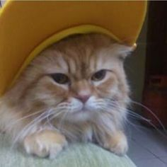 Make it a yellow #whiskerwednesday & mouse on over to yellowhatsforcats.com to see what we're all about! #cats #catsofinstagram #fluffycat #fluffycatcrew #happycauses #shopforacause #supportyourshelter #makeadifference : @jony__cat
