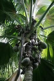 seychelles praslin  Vallee de Mai photo by Isalella on Flickr http://images.google.com/images?q=seychelles+praslin=isch=sur:f=d=768=900=_ZYDUJeBG6bt0gGqic3lBw#