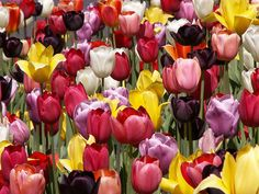How to Plant Tulip Bulbs - Need to plant this fall - maybe for sidewalk border up to house? Dig up bulbs after bloom to store. Replace with.for summer? Planting Tulips, Tulips Garden, Garden Bulbs, Puzzle Of The Day, Tulip Bulbs, Gardening Zones, Spring Bulbs, Growing Plants, Flower Beds