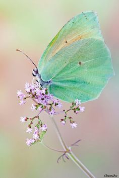 Green #Butterfly ➰ Soft Lavender Flower
