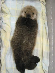 There is a whole photo album dedicated to this cutie.   http://www.petsugar.com/Pictures-Baby-Otter-9190610