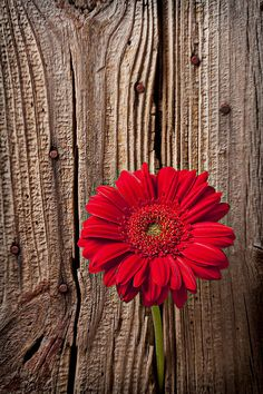 Red Gerbera Daisy @Kathi Everett DeNosky - the red and wood seems kind of western  :)